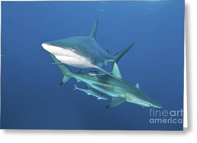 Oceanic Blacktip Sharks With Remora Greeting Card by Mathieu Meur