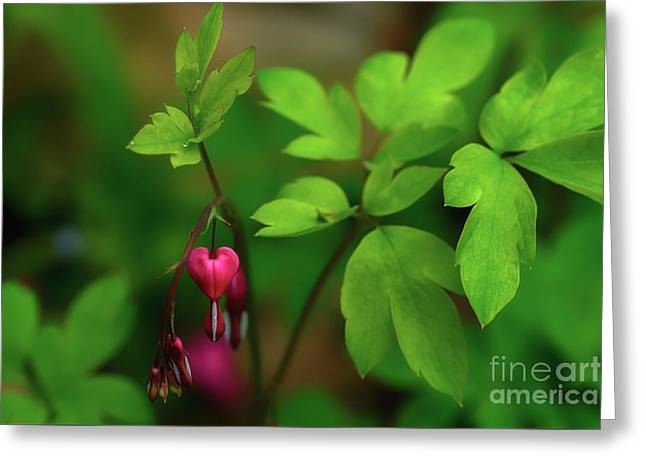 Old-fashioned Bleeding Heart Greeting Card