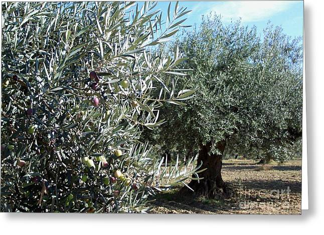 Greeting Card featuring the photograph Olive Trees by Judy Kirouac