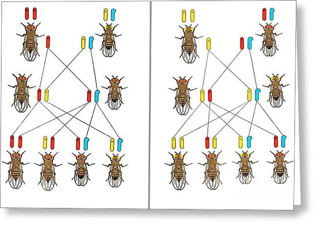 Physical Basis Of Heredity, T.h Greeting Card by Science Source