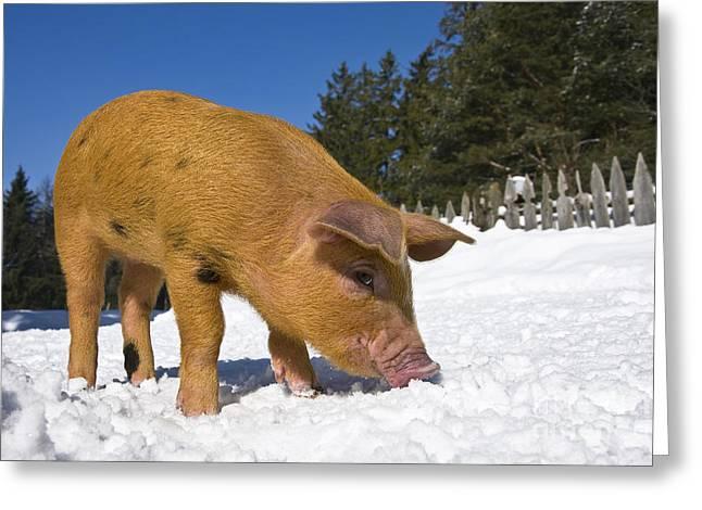 Piglet Digging In Snow Greeting Card by Jean-Louis Klein & Marie-Luce Hubert