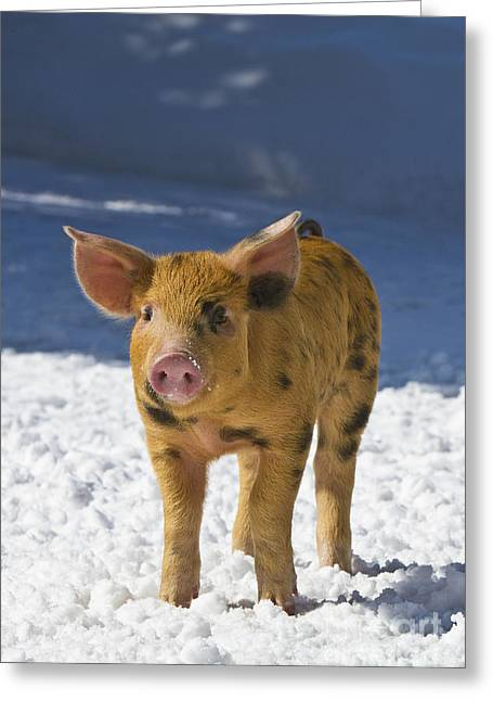 Piglet In The Snow Greeting Card by Jean-Louis Klein & Marie-Luce Hubert
