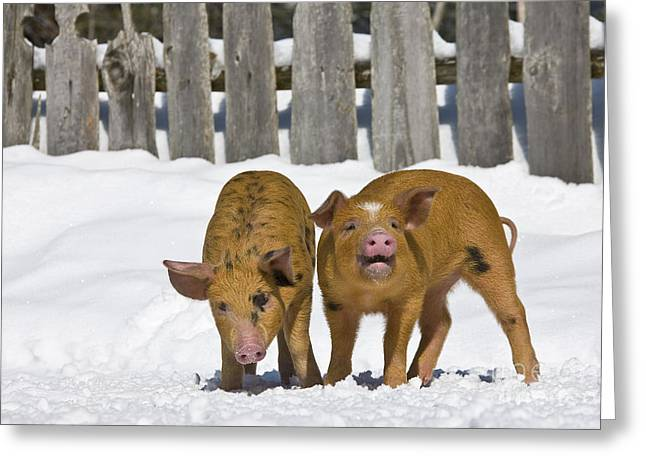 Piglets In The Snow Greeting Card by Jean-Louis Klein & Marie-Luce Hubert