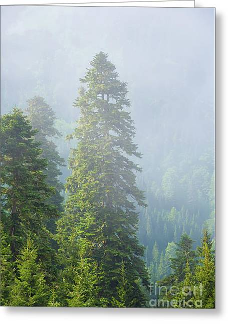 Pine Tree Greeting Card by Svetlana Sewell