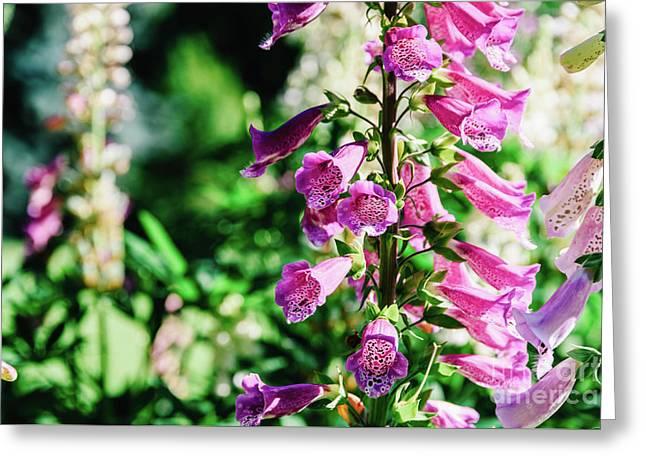 Pink Digitalis Foxgloves Plant Flowers In Garden Greeting Card