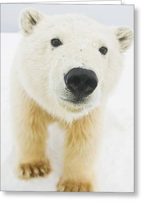 Polar Bear  Ursus Maritimus , Curious Greeting Card by Steven Kazlowski