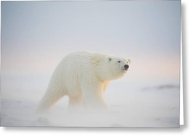 Polar Bear  Ursus Maritimus , Young Greeting Card by Steven Kazlowski