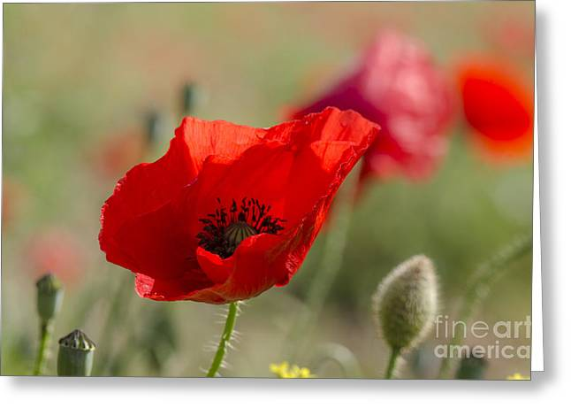 Poppies In Field In Spring Greeting Card by Perry Van Munster