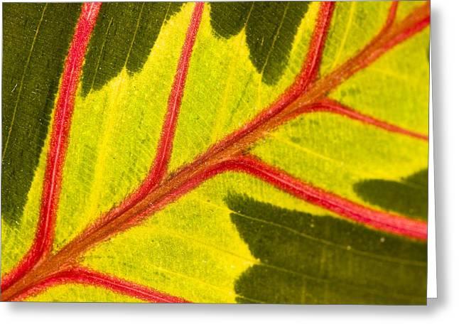 Prayer Plant Maranta Leuconeura Greeting Card by Gabor Pozsgai