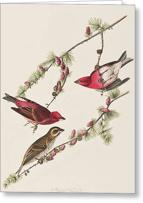 Purple Finch Greeting Card by John James Audubon