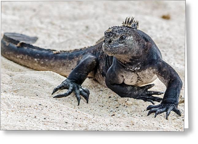Rabida Marine Iguana Greeting Card by Harry Strharsky