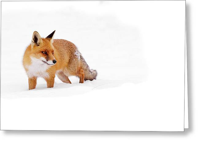 Red Fox In A White World Greeting Card