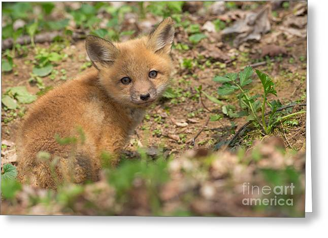 Red Fox Kit Greeting Card by Joshua Clark