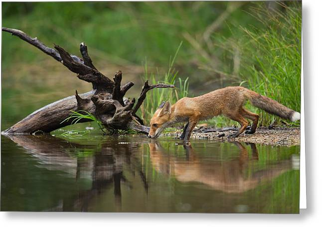 Red Fox Greeting Card by Milan Zygmunt