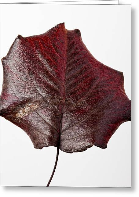 Red Leaf 4 Greeting Card by Robert Ullmann