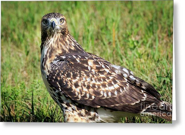 Red-tail Portrait Greeting Card