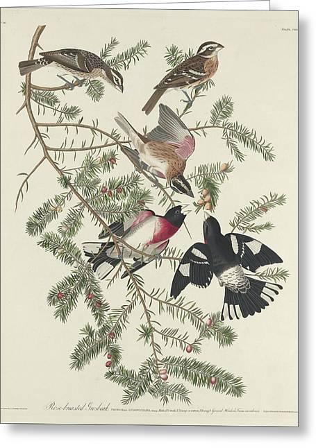 Rose-breasted Grosbeak Greeting Card by Rob Dreyer