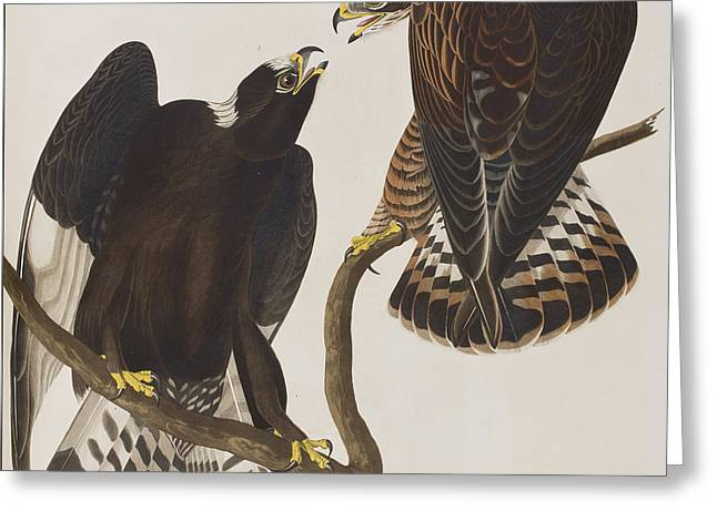 Rough-legged Falcon Greeting Card by John James Audubon