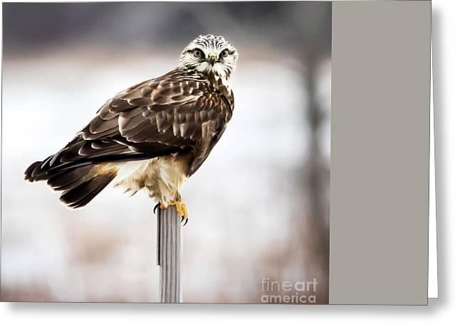 Rough-legged Hawk Greeting Card by Ricky L Jones