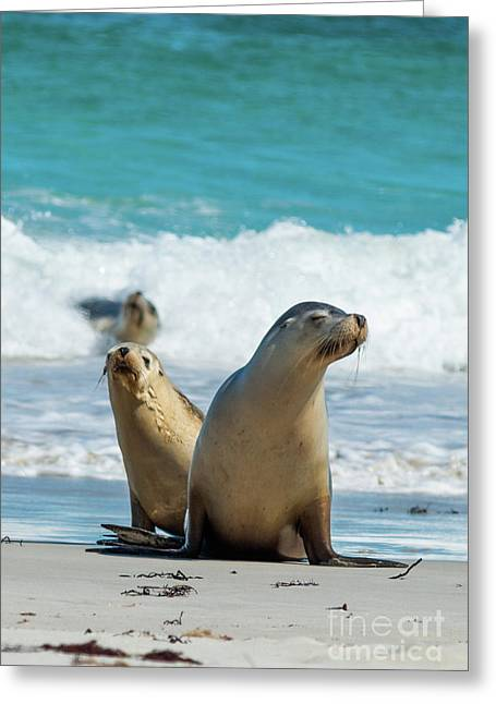 Sea Lions Australia Greeting Card by Andrew Michael
