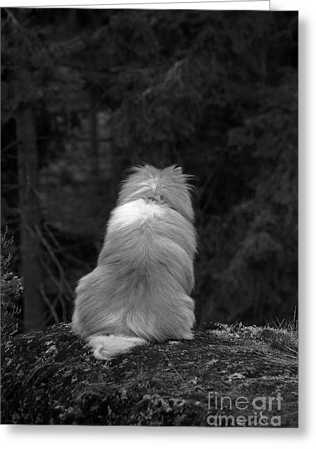 Sheltie Greeting Card by Allan Wallberg