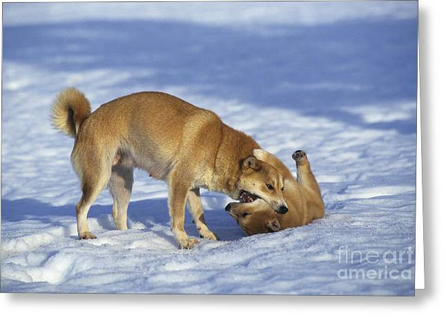Shiba Inu And Her Puppy Greeting Card