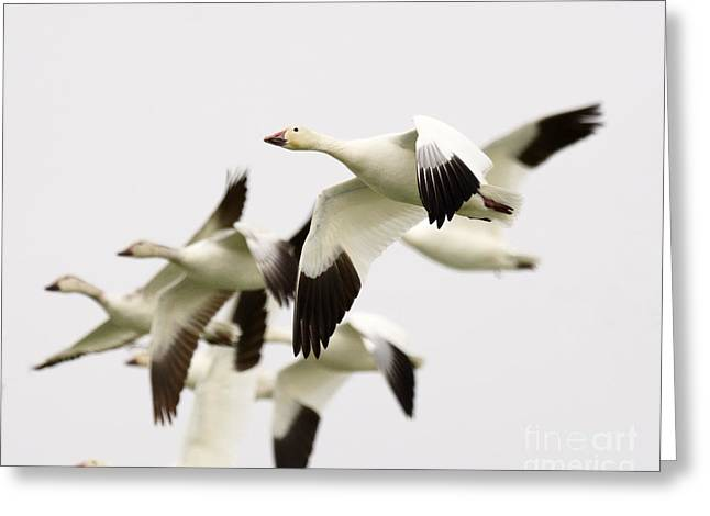 Snow Geese Greeting Card by Dennis Hammer
