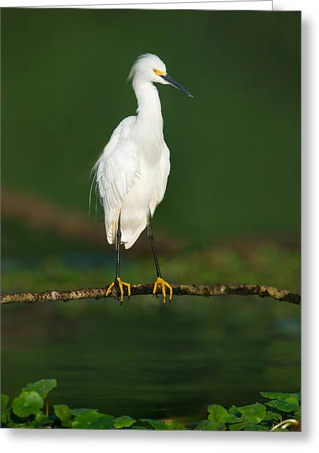 Snowy Egret Egretta Thula, Tortuguero Greeting Card by Panoramic Images