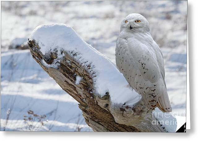 Greeting Card featuring the photograph Snowy Owl by Jim  Hatch