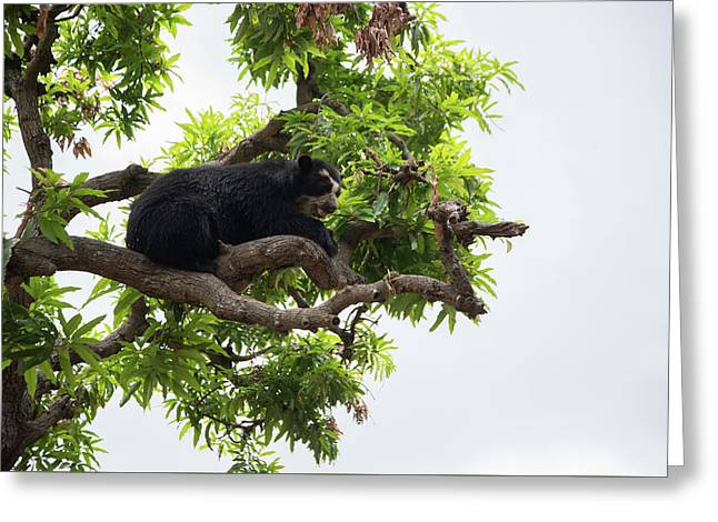 Spectacled Bears Greeting Card