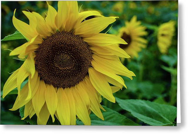 Sunflower Fields Greeting Card by Miguel Winterpacht