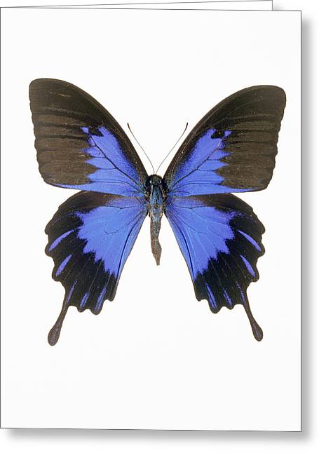 Swallowtail Butterfly Greeting Card by Lawrence Lawry