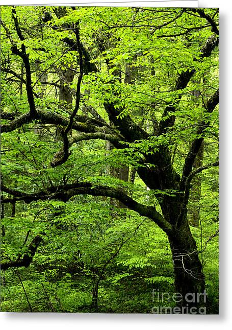 Swamp Birch Greeting Card by Thomas R Fletcher