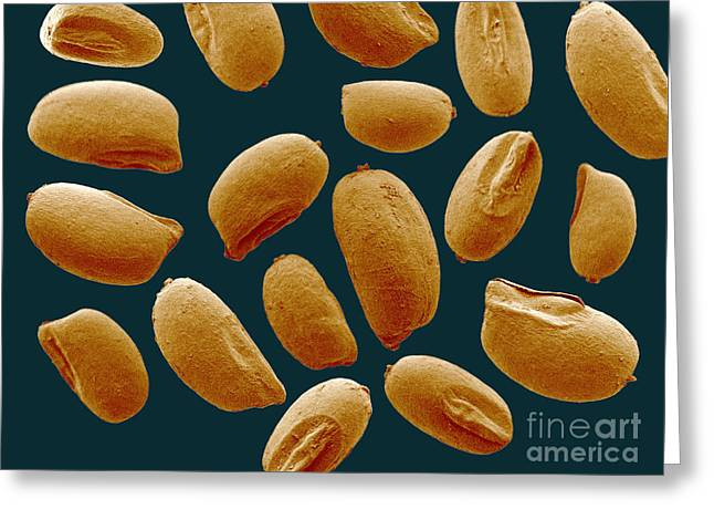 Teff Eragrostis Tef Grains, Sem Greeting Card by Scimat