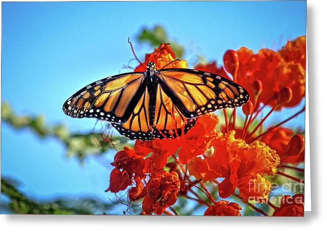 The Resting Monarch Greeting Card