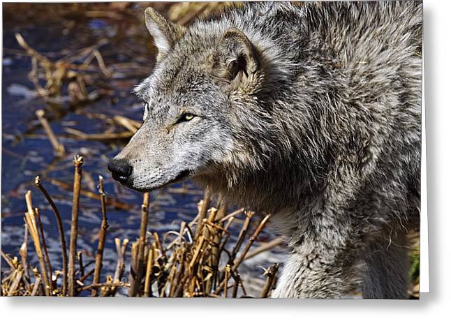 Greeting Card featuring the photograph Timber Wolf by Michael Cummings
