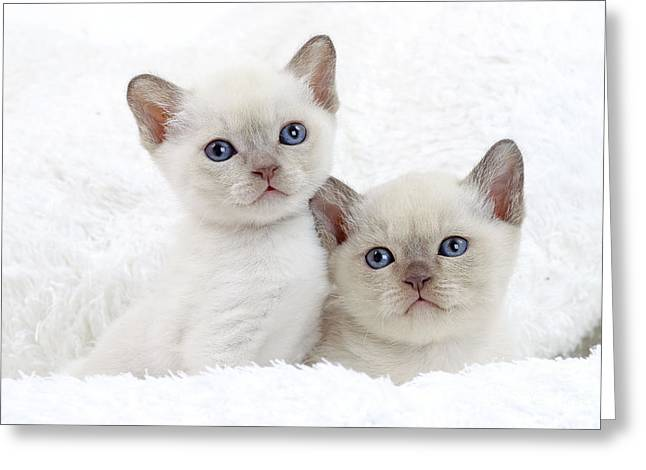 Tonkinese Kittens Greeting Card by Jean-Michel Labat
