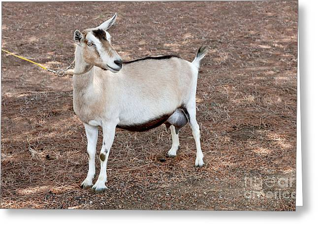 Transgenic Goat Greeting Card by Inga Spence