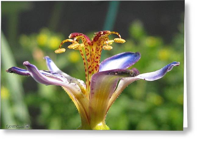 Tricyrtis Named Taipei Silk Greeting Card