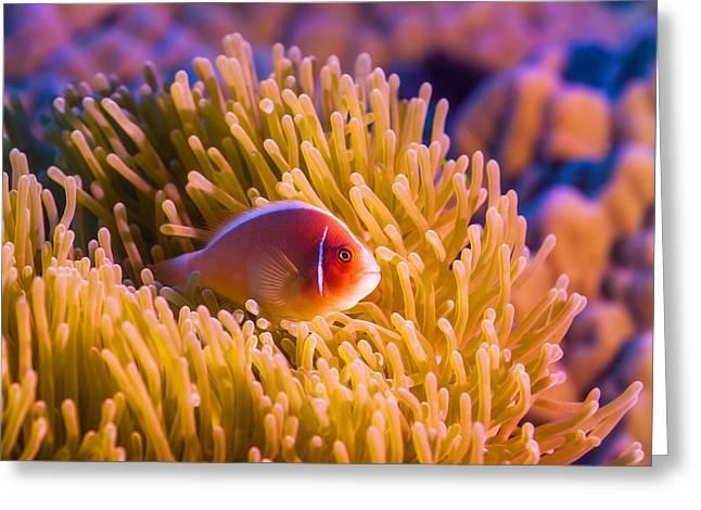 Tropical Fish Pink Clownfish Greeting Card by MotHaiBaPhoto Prints