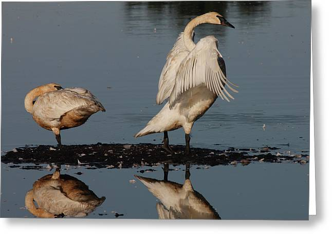 Trumpeter Swans At Rest Greeting Card