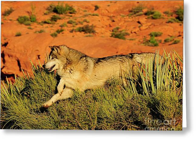 Tundra Wolf Greeting Card by Dennis Hammer