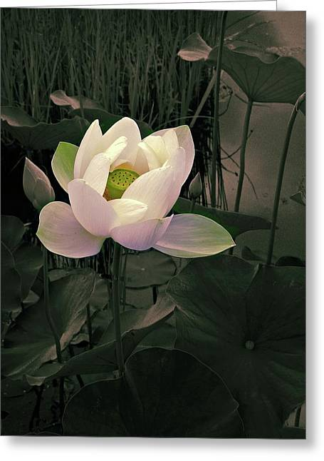 Twilight Lotus Greeting Card by Jessica Jenney