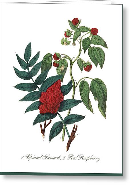 Victorian Botanical Illustration Of Upland Sumach And Red Raspberry Greeting Card by Peacock Graphics
