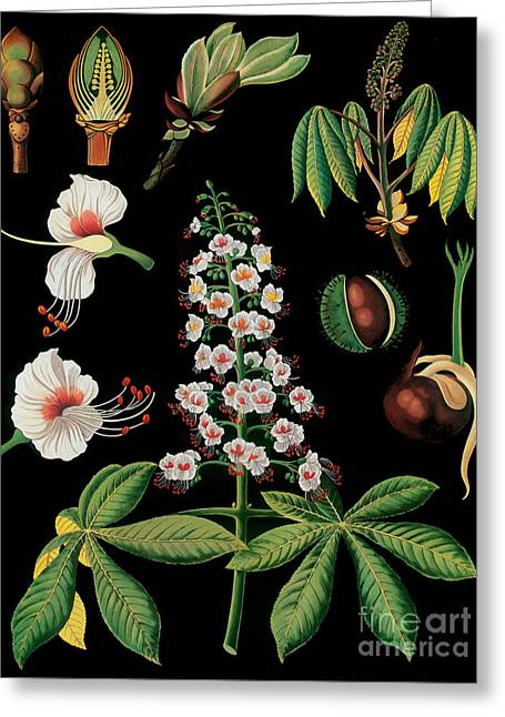 Vintage Botanical Greeting Card by Mindy Sommers