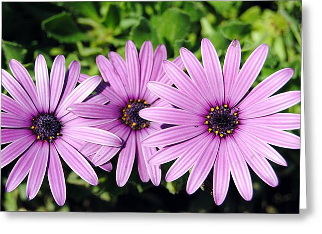 The African Daisy 2 Greeting Card