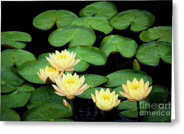 Water Lilies And Lily Pads Greeting Card by Amy Cicconi