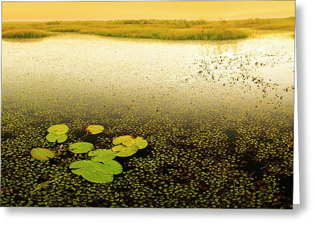 Water Lily Pads Greeting Card by Tim Hester