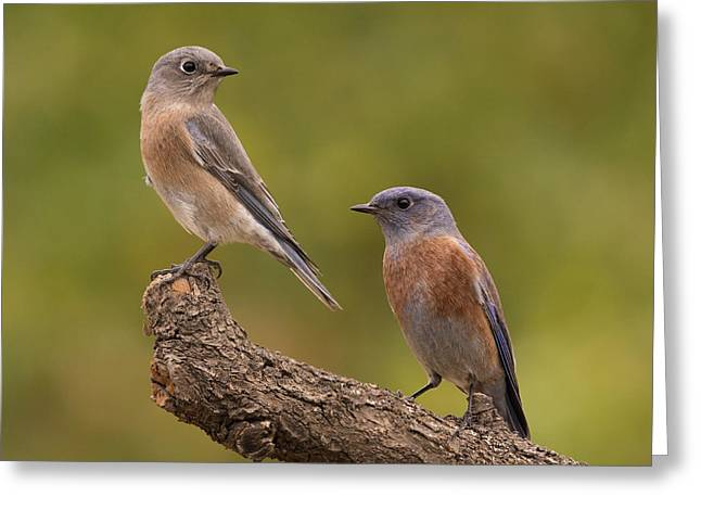 Western Bluebird Greeting Card by Doug Herr