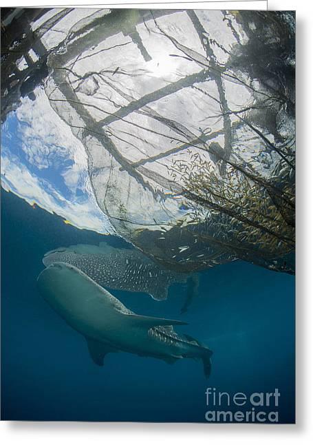 Whale Shark Swimming Greeting Card by Mathieu Meur